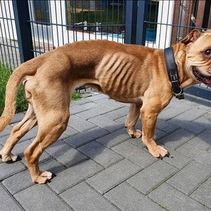 Vollkommen abgemagert wurde Mischlingshündin Boo im Tierheim Moers abgegeben.