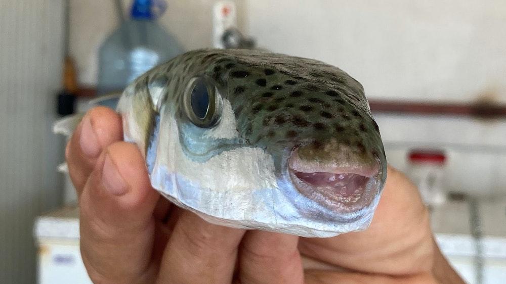 Der Leiter der Fischerei-Kooperative in Antalya, Cengiz Balta, hält einen Hasenkopf-Kugelfisch in der Hand.
