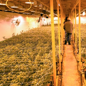 Beamte begutachten eine Cannabis-Plantage.