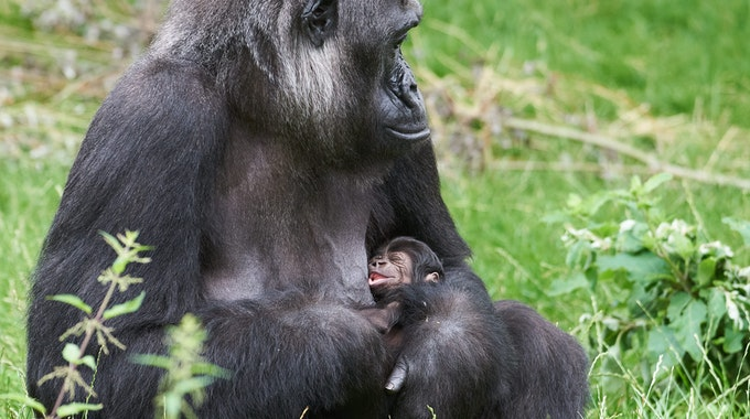 "Gorilla-Frau ""Muna"" mit ihrem noch namenlosen Nachwuchs im Krefelder Zoo."