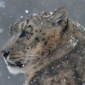 Schneeflocken landen im Fell eines Schneeleoparden.