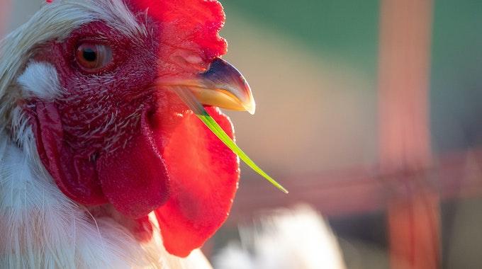 In Thailand ist ein Hahn mit vier Beinen geboren worden. Unser Symbolfoto zeigt einen Hahn auf einem Bauernhof in Baden-Württemberg.