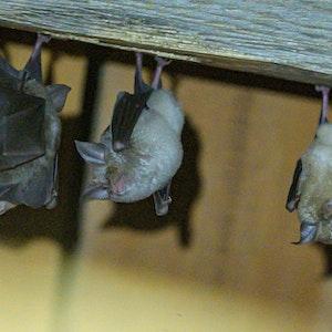 Hufeisennasen-Fledermäuse hängen an der Decke. Britische Forscher haben ein neues Coronavirus in britischen Fledermäusen entdeckt.