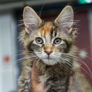 Eine Maine-Coon-Katze wird auf der Rassekatzenschau präsentiert.