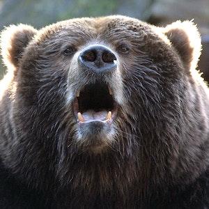 Ein ausgewachsener Kodiakbär wartet mit halb offenem Maul darauf, dass ihm die Besucher des Wildparks Lüneburger Heide Futterbrocken zuwerfen.