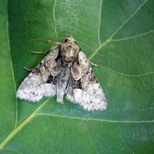 Ein Exemplar der Hellen Pfeifengras-Grasbüscheleule sitzt auf einem Blatt.