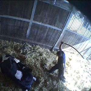 Ein Arbeiter des Metzgerei-Unternehmens Mecke schlägt brutal auf eine Kuh ein.