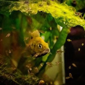 Dem Duisburger Zoo ist die Nachzucht von über 50 der äußerst seltenen und in ihrer Heimat bedrohten Loiselle-Madagaskarbuntbarsche gelungen.