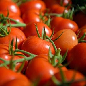 In Tomatenmark ist Schimmel - erntereife Tomaten liegen in einem der bis zu 300 Meter langen Gewächshäuser eines Gemüsebaubetriebes.