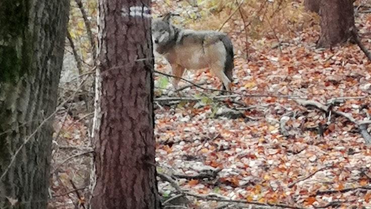Der Wolf (hier ein Foto von einem Wolf bei Hünxe am Niederrhein) hat sich über einen längeren Zeitraum im Königsforst aufgehalten.