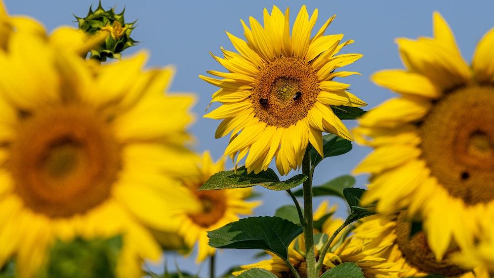 Sonnenblumen blühen auf einem Feld.