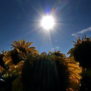 Das Wetter in NRW soll in den kommenden Tagen überwiegend warm und sommerlich werden. Das Symbolbild zeigt ein Sonnenblumenfeld in Seinsheim.