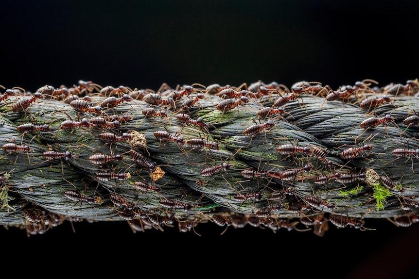 Small Big Migration fängt einen Moment im Leben einer Population von Soldaten-Termiten ein, die wandern, um das Überleben und die Fortpflanzung der Kolonie zu sichern. Auch das Foto von Termiten gewann einen Preis.