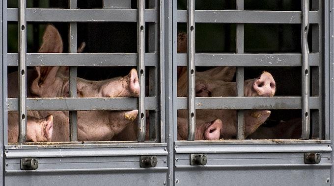Durch die geöffnete Tür fielen die Schweine in dem Transporter auf die Fahrbahn der Autobahn bei Bonn. Auf dem Foto drängen sich Schweine in einem Transporter.