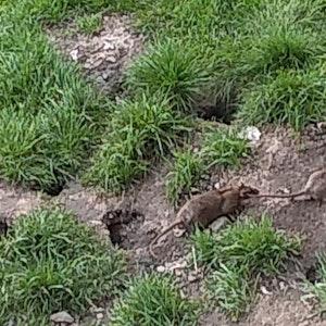 Ratten am Kölnberg