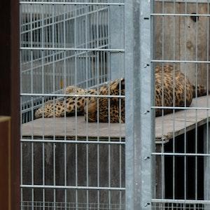 Der Leopard (hier ein Foto vom 25. August) hat die Frau schwer verletzt.