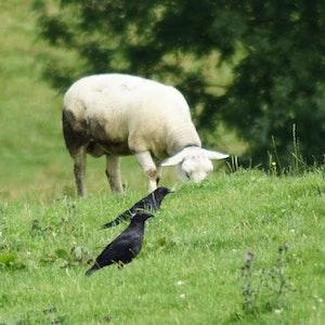 Raben stehen auf einer Weide vor einem Schaf. Attacken von Rabenvögeln auf Schafe bleiben ein Problem in Baden-Württemberg.