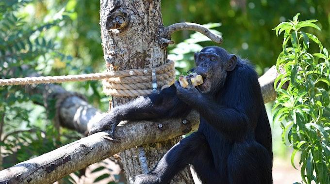 Ein Schimpanse sitzt auf einem Baum im Zoo und isst einen Apfel.