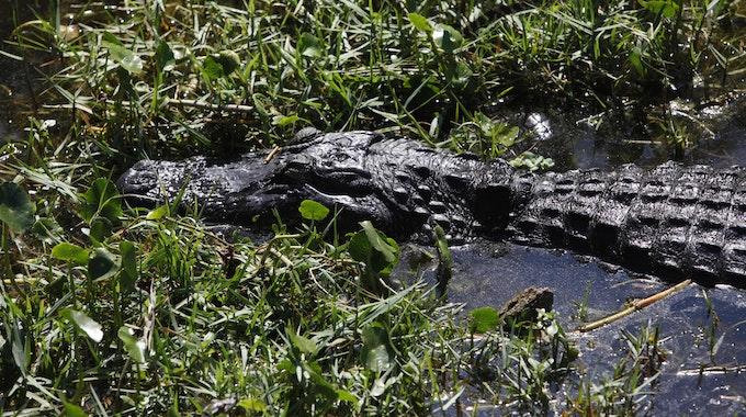 Ein Alligator schwimmt in St. Petersburg, Florida (USA) im Sawgrass Lake Park durch das seichte Wasser.