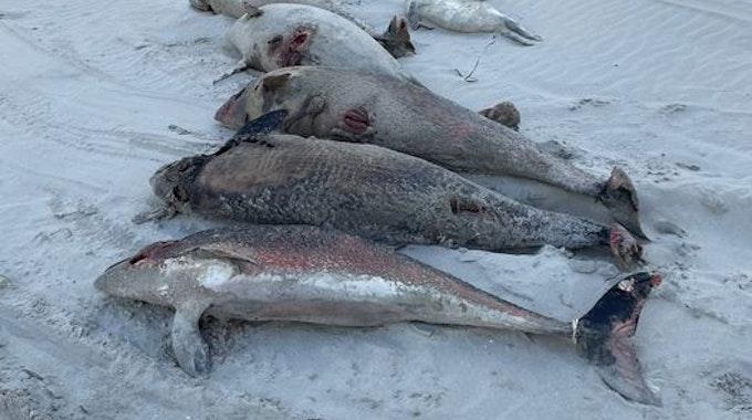 Gestrandete Schweinswale auf Ameland.