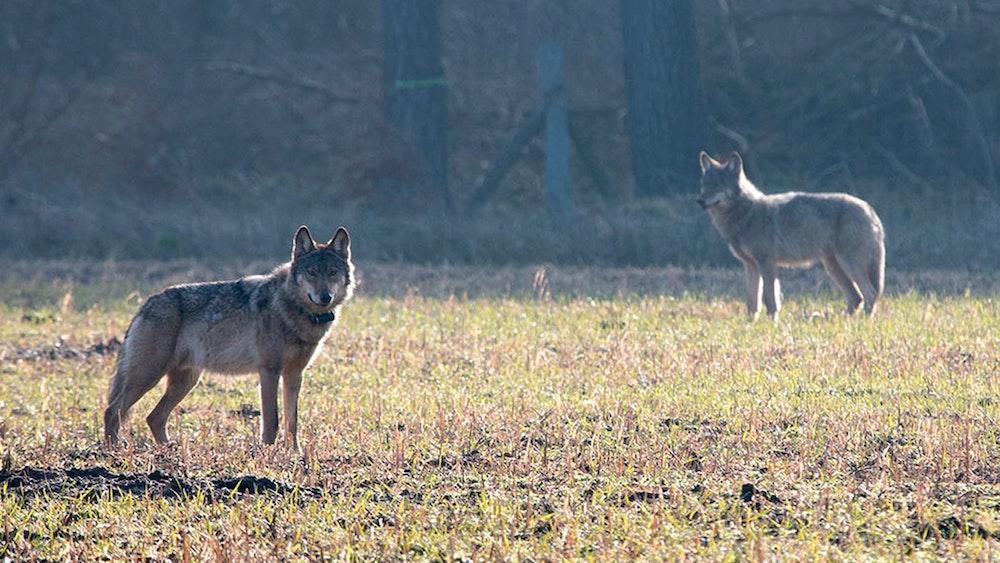 Nach einem Riss durch einen Wolf (hier ein Archivfoto von einem Wolf in Münster von 2016) hat ein Landwirt zu einer drastischen Maßnahme gegriffen.