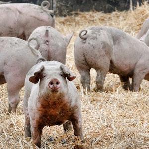 """Ruhrtaler Freilandschweine stehen in ihrem Freigehege. Die Verfasser des """"Fleischatlas"""" wollen eine einheitliche Tierwohl-Kennzeichnung in der EU."""