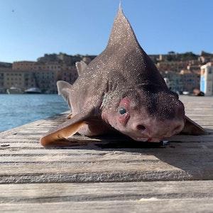 """Was für ein Fund: Im Hafenbecken """"Darsena Medicea"""" in Portoferraio auf der Urlaubs-Insel Elba wurde ein seltenes Exemplar einer Gefleckten Meersau gefunden. Das Foto sorgte für Wirbel im Netz."""