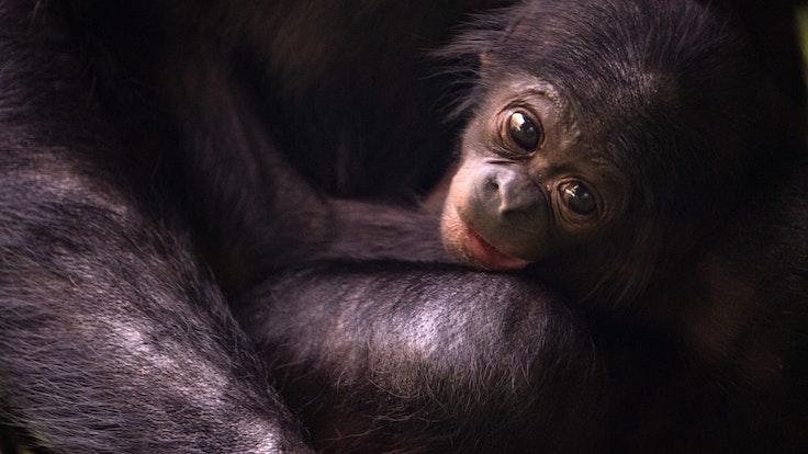 Bonobo-Nachwuchs Kijani macht es sich bei seiner Mutter Gemena bequem.