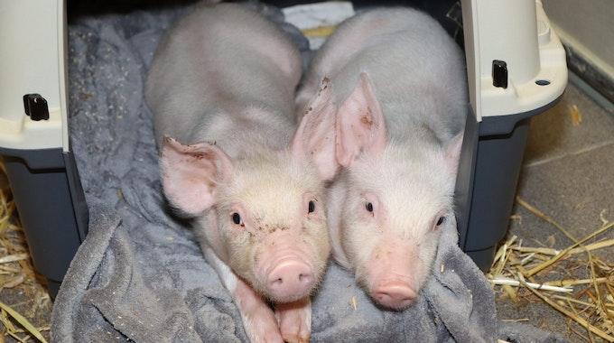 Diese beiden Ferkel wurden von Unbekannten Anfang September in Mülheim an der Ruhr ausgesetzt. Damit wollte ein Landwirt offenbar gegen die geringen Abnahmepreise für Schweinefleisch aus der Massentierhaltung protestieren. Foto: Tierheim Mülheim Ruhr/dpa