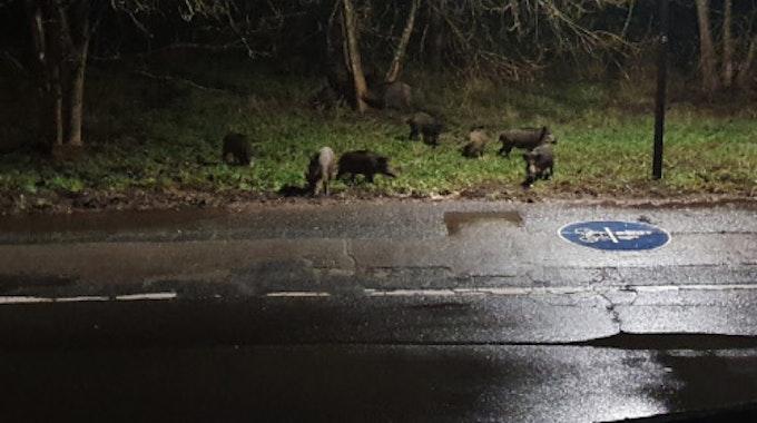 Wildschweine tummeln sich auf einem Grünstreifen nahe eines Fahrradwegs.