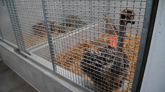 Das gefundene Straußenbaby im Tierheim Krefeld im Käfig