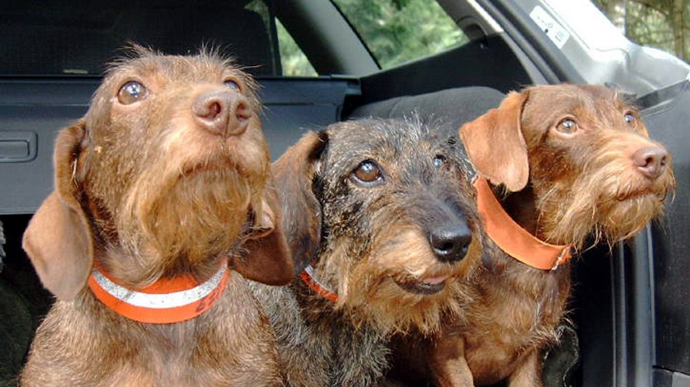 Drei Rauhaardackel schauen am 24. September 2004 aus dem Kofferraum eines Autos in Hamburg.