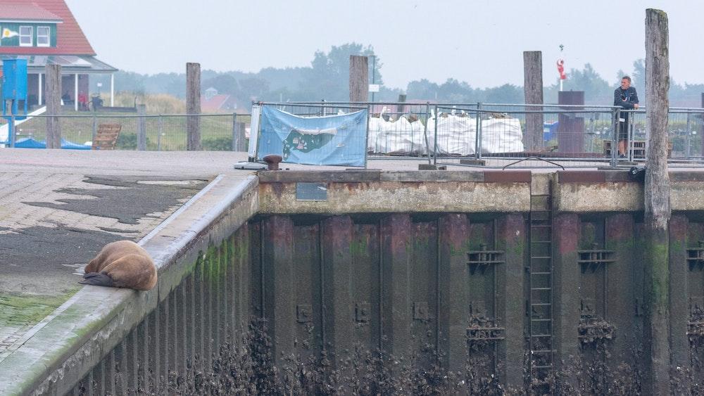 Ein Walross liegt am 10. September auf der Nordsee-Insel Spiekeroog an der Hafenmauer. Es sieht entspannt aus.