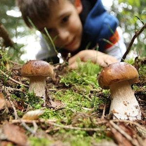 Ein Junge aus Wernigerode bestaunt zwei Steinpilze in einem Wald in Sachsen-Anhalt. Beim Pilze sammeln sollte man jedoch Vorsicht walten lassen.