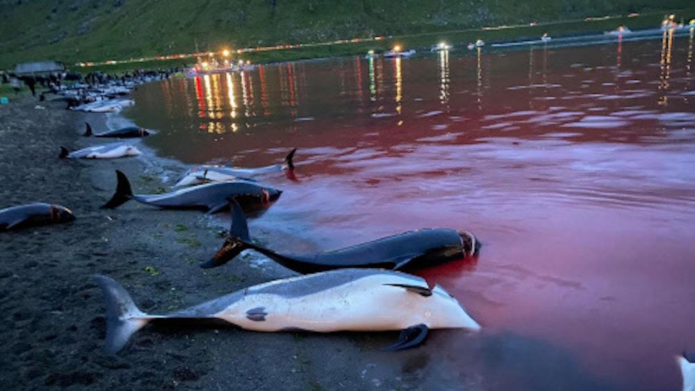 Foto von der DPA, aufgenommen von Sea Shepherd am 12. September 2021 auf den Färöer-Inseln. Gedownloadet am 16.09.2021 zum Zwecke der Berichterstattung.