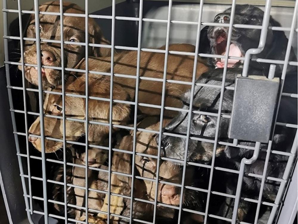 Polizisten in Krefeld retteten nach Zeugenhinweis am 15. September sechs Hundewelpen aus völlig verdrecktem Auto.