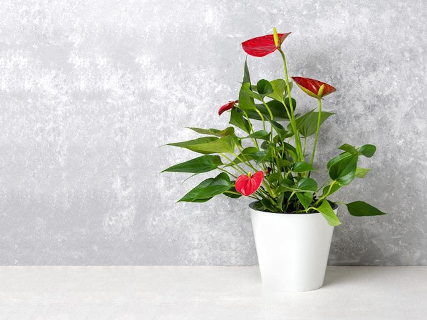 Die Flamingoblume sorgt mit ihren Blüten für Farbe in der Wohnung.