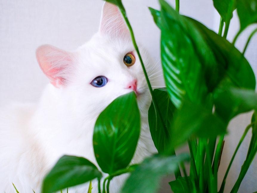 Auch das Einblatt ist giftig für Katzen. Haustierbesitzer sollten lieber auf ungiftige Gewächs zurückgreifen.