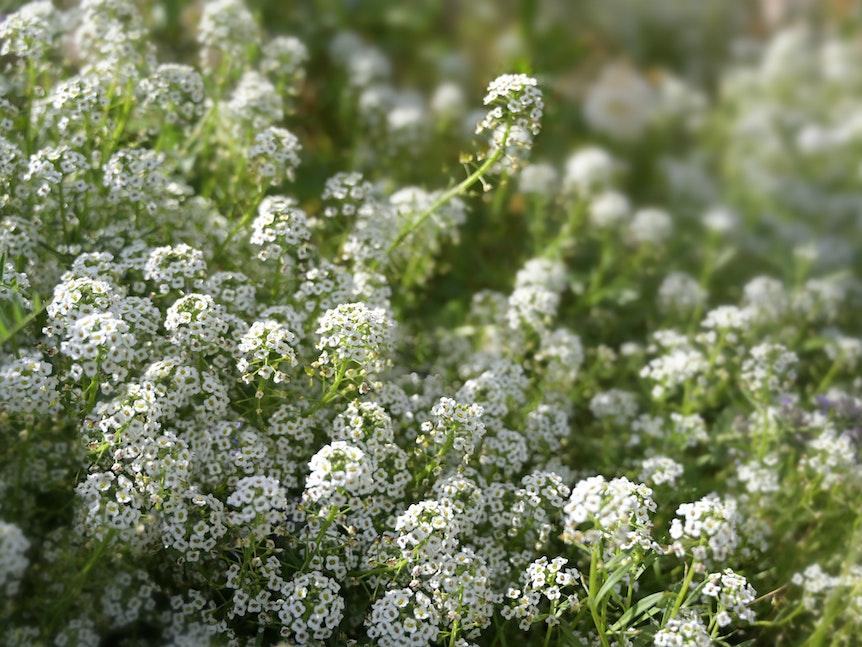 Die Schleifenblume ist als Bodendecker perfekt für die Begrünung von Balkonkästen geeignet.