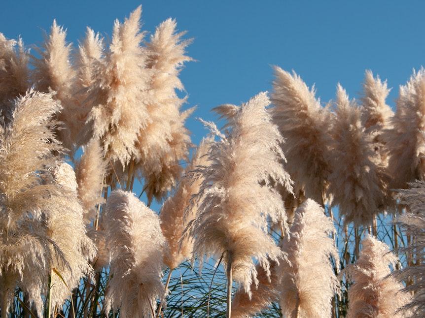 Pampasgras ist winterhart, aber bevorzugt sonnige und windgeschützte Standorte.
