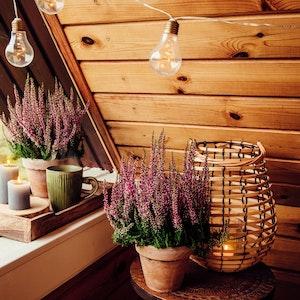 Auch wenn es draußen kalt wird, können winterharte Pflanzen auf dem Balkon für Farbe sorgen. Das Foto zeigt Erika in Übertöpfen.