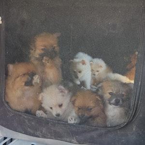 Polizei Köln: 30 Hunde im Kofferraum beschlagnahmt