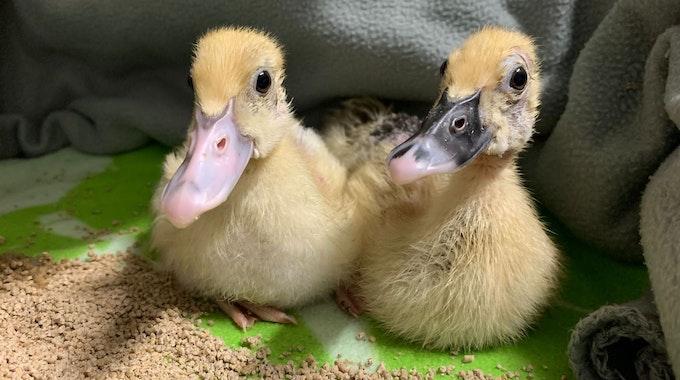 Zwei Entenküken sind im Tierheim Köln-Dellbrück abgegeben worden.