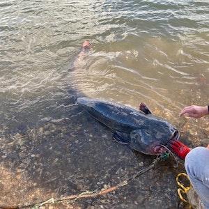 Der am Montag (4. Oktober 2021) am Rheinufer in Düsseldorf gefundene Wels. Einsatzkräfte der Feuerwehr befreien den Zwei-Meter-Fisch aus der Maulschlinge.