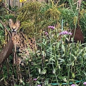 Ein Serval, eine Wildkatze, sitzt in einem Garten in Stadtlohn. Das streunende Tier hat für einige Aufregung gesorgt.