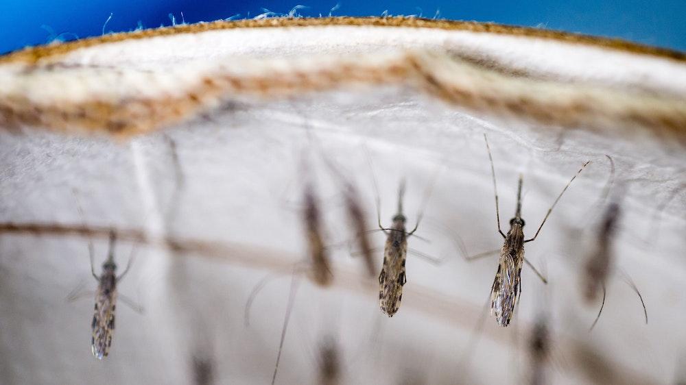 Unser Symbolbild zeigt mehrere Mücken, welche die Überträger des tödlichen Malaria-Erreger sind.