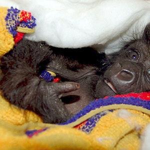 """Das Berggorilla-Baby """"Ndakasi """" wurde mit der Flasche aufgezogen, nachdem es gefunden wurde. Das Foto (aufgenommen 10. Juni 2007) zeigt das zwei Monate alte Berggorillaweibchen."""