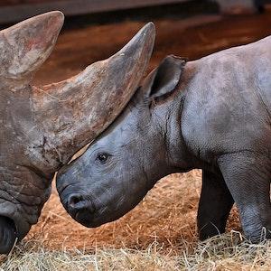 Augsburger Zoo: Team muss Nashorn-Baby einen Tag nach Geburt einschläfern lassen.