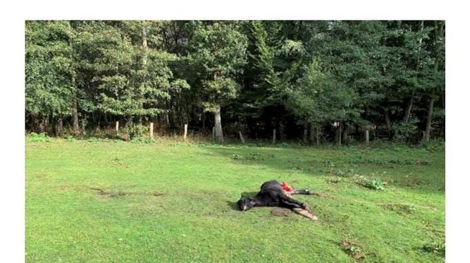 Das gerissene Pony liegt auf der Weide in Hünxe.