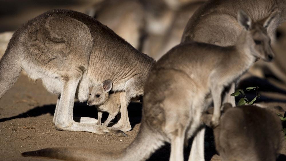In Australien wurden mehrere Kängurus sinnlos zu Tode geprügelt. Auf dem Foto (aufgenommen am 5. Februar 2014 in Israel) sieht man mehrere graue Riesenkängurus.